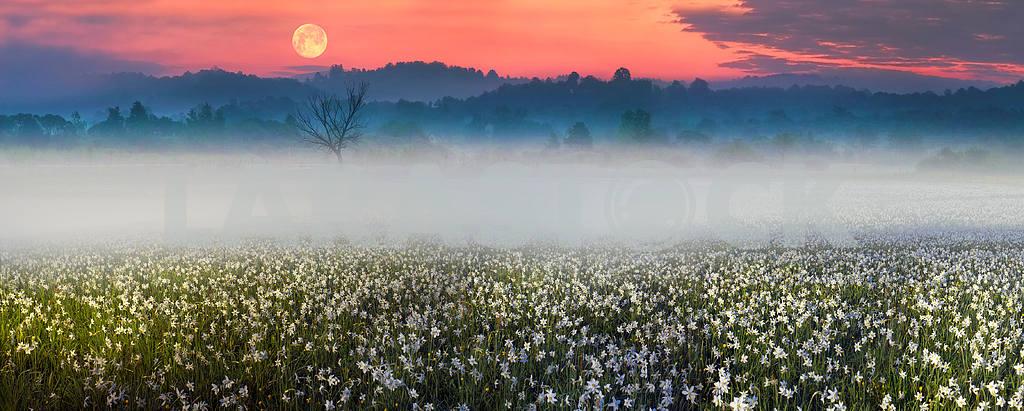 Narcissus at dawn