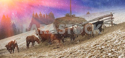 Pasture in a blizzard