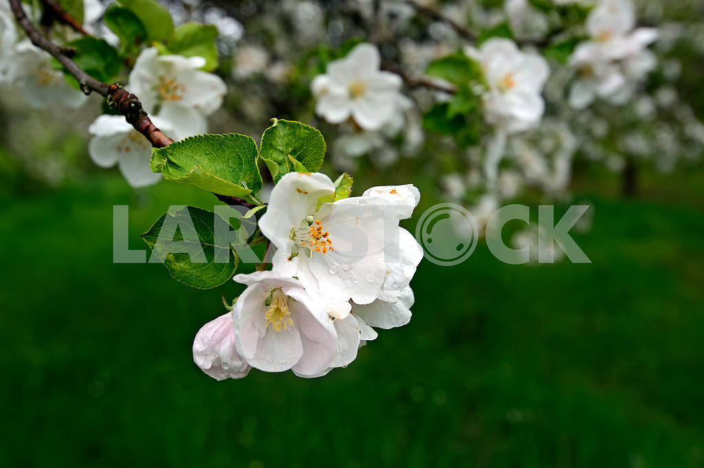 Apple blossoms — Image 1626