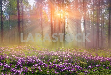 Magic Carpathian forest at dawn
