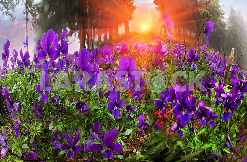 Viola tricolor — Image 16365
