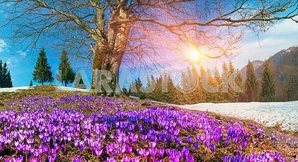 Snow flowers - Crocuses