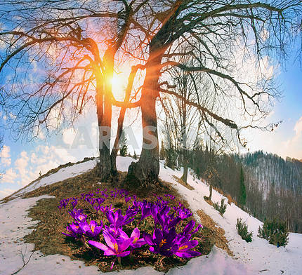 Snow flowers - Crocuses