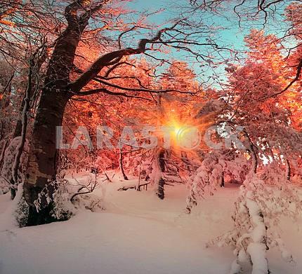 Ukrainian Carpathians snowy forest