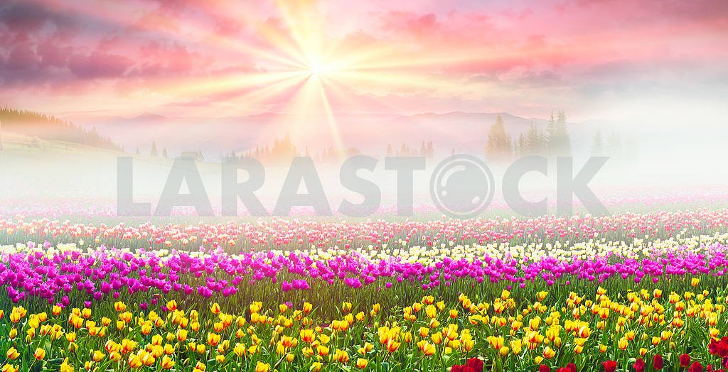 Field of tulips in the fog — Image 16898