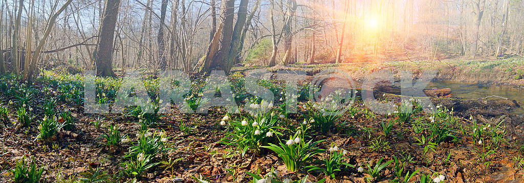 beautiful snowdrop bloom in March