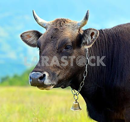 Carpathian cow