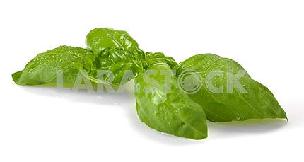 Leaves of basil