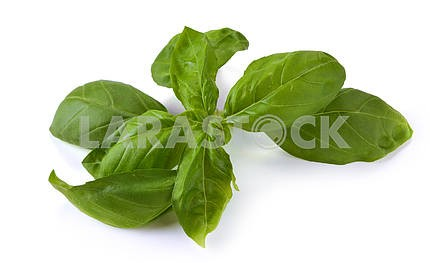 Leaves of basil