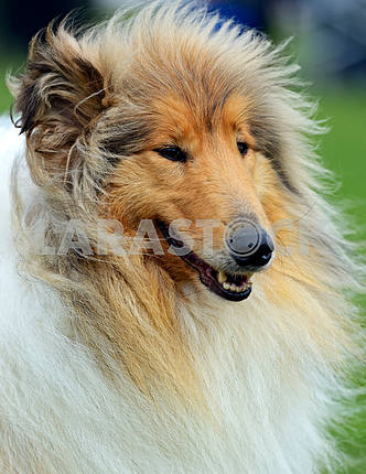 Portrait Collie