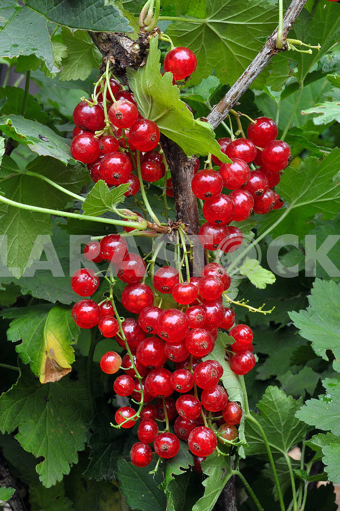 Red currants on a branch — Image 17500
