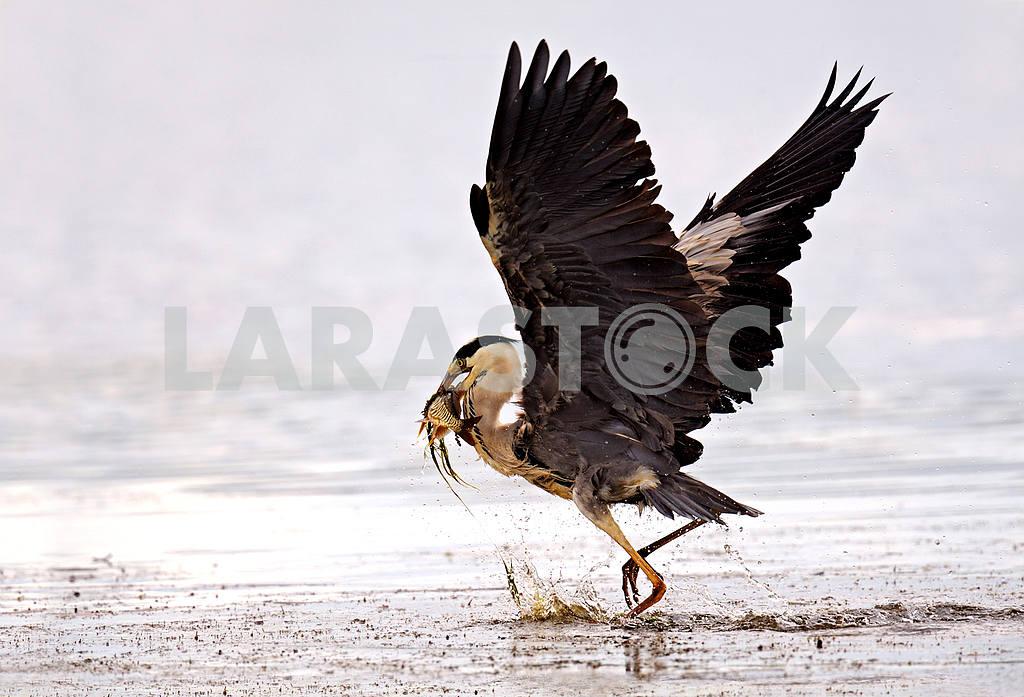 Heron — Image 1766