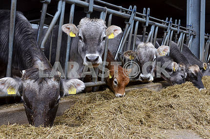 cows eat feed