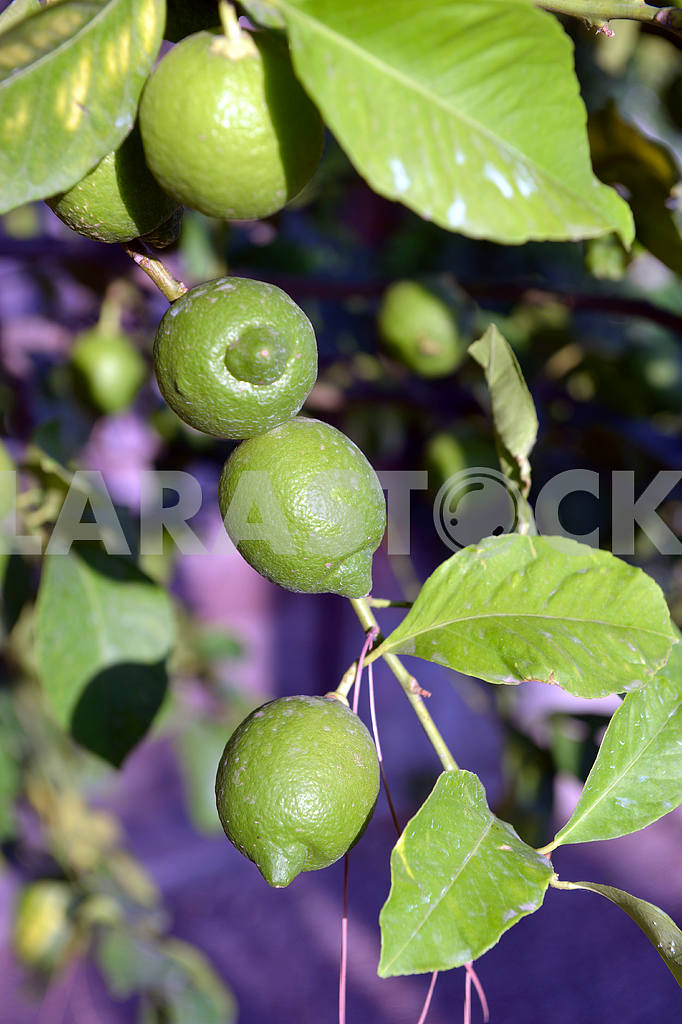 Ripe lime on a tree branch — Image 17738