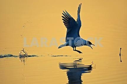 Seagull in the natural habitat