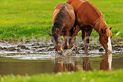 Horse on pasture in the summer
