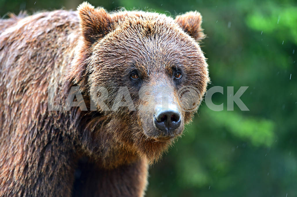 Brown bears  — Image 1792