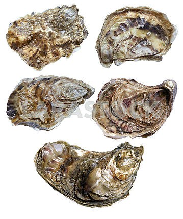 Closed oyster