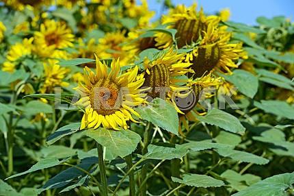 Beautiful flowers in a summer sunflower field