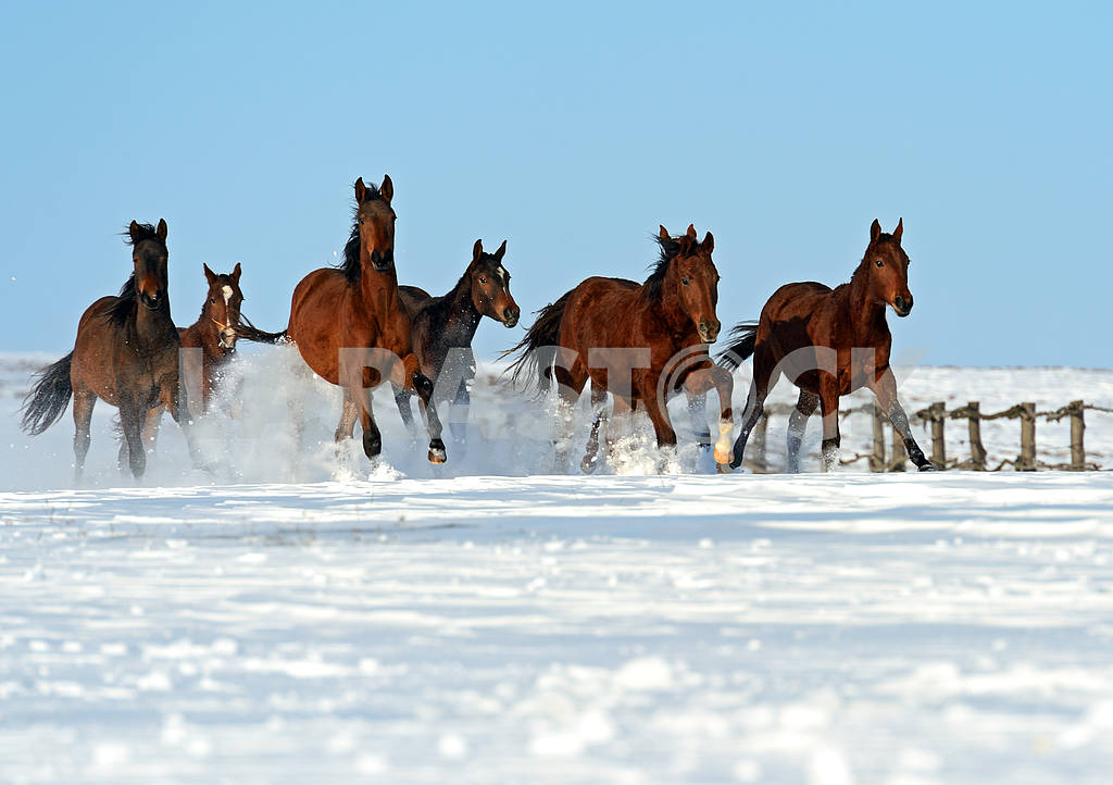 Herd of horses running on a snowy field — Image 1808