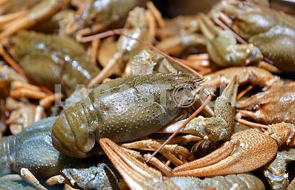 live crayfish in the store seafood