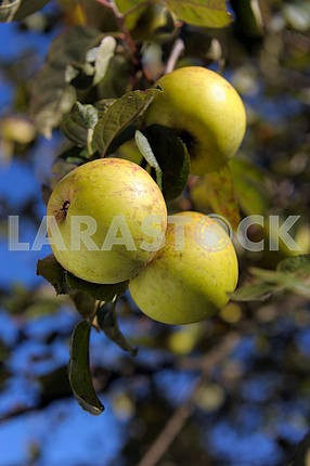 ripe green apples on a tree branch