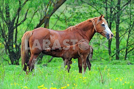 Horse with a calf on pasture