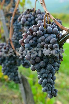 merlot grapes on the vine