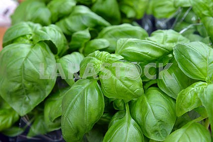 Basil plantation in the soil