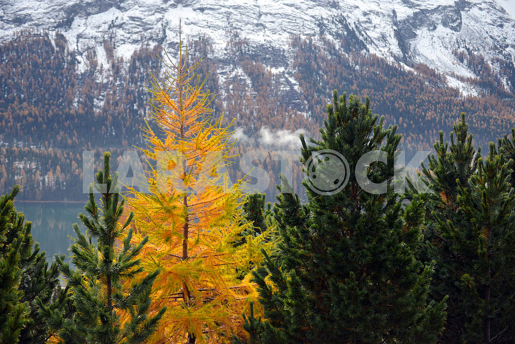 Yellow larch among the green firs — Image 18594