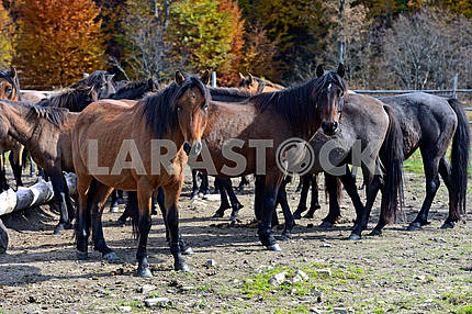 Carpathian horse on the farm