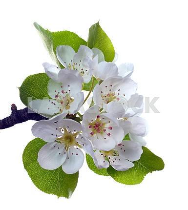 Отделение груша цветок