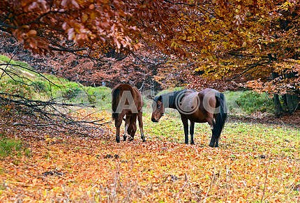 Horses grazing in a forest in autumn