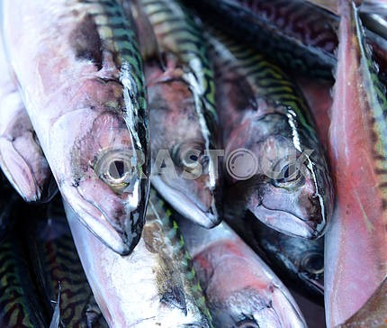 Fresh mackerel fish on ice