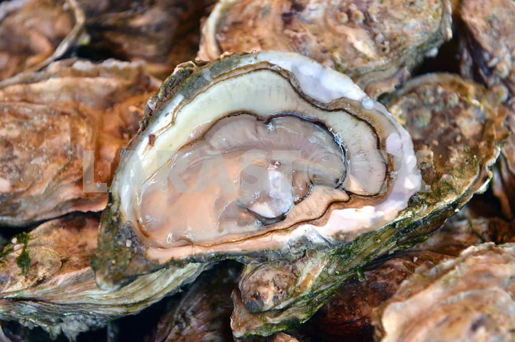 Fresh oysters  — Image 19009