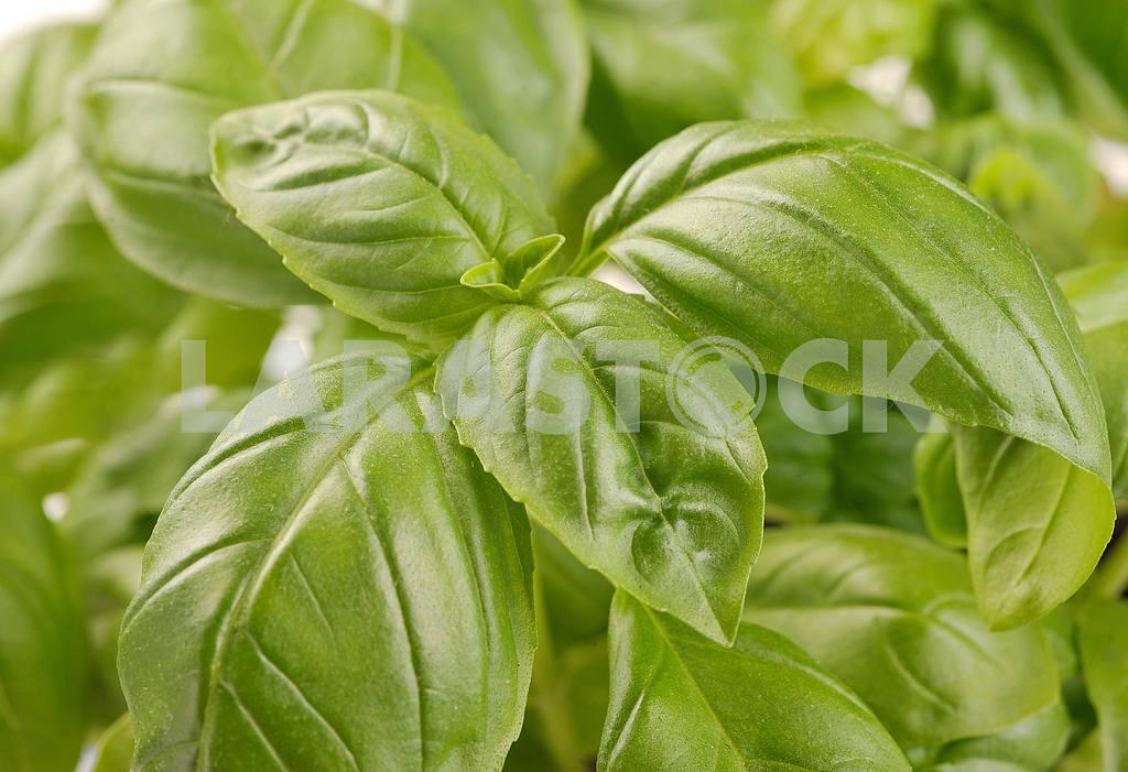 Embossed green basil leaves — Image 19010