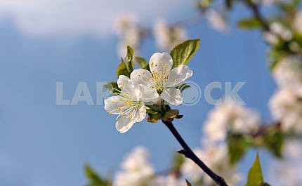 Bunches of cherry blossom
