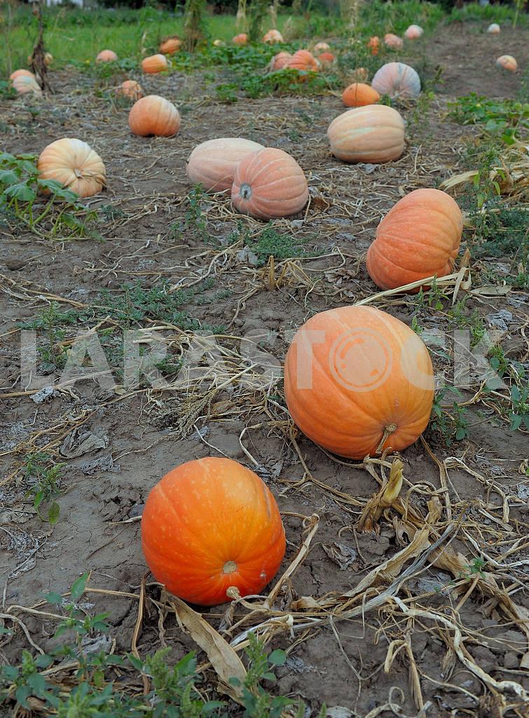 Harvest pumpkins — Image 19378