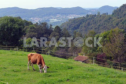 Cow on a green pasture.