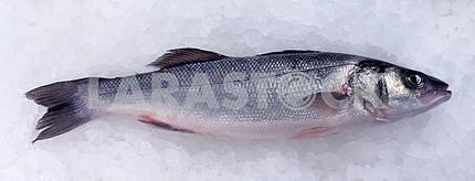 Морской окунь ( Dicentrarchus labrax ) на льду