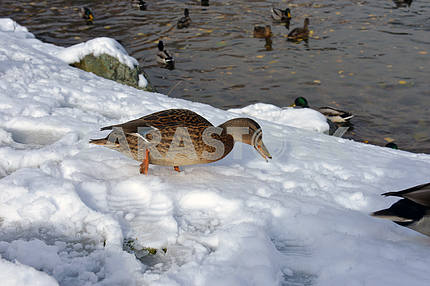 winter lake with ducks