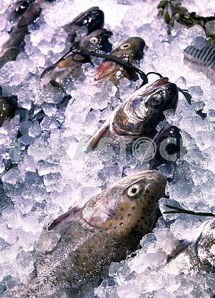 Форель в лед