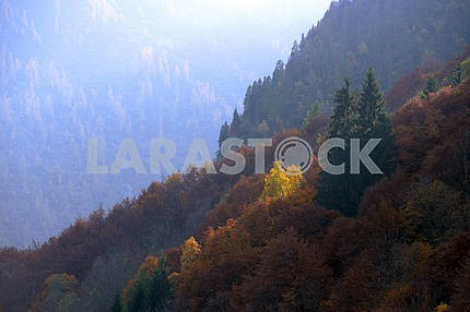 yellow trees among the green firs
