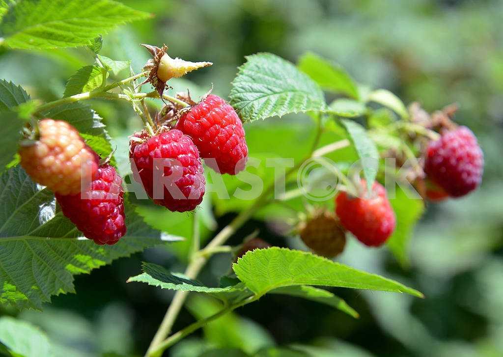 Raspberries on a branch — Image 19555