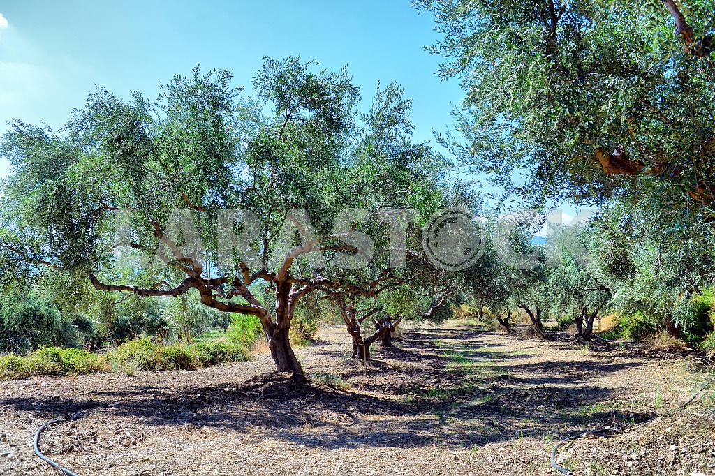 Plantation of olive trees — Image 19587