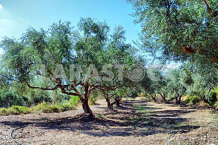 plantation of olive trees