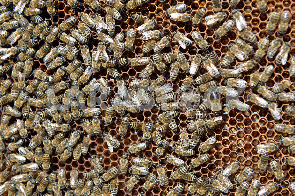 Swarm of bees and honeycomb — Image 19618