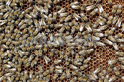 swarm of bees and honeycomb