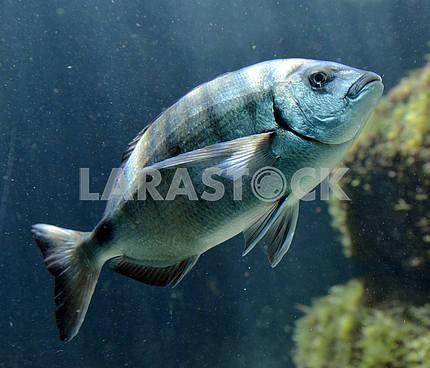 Групер в аквариуме