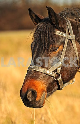 Horse,  Portrait of Horse; Autumn portrait of Horse; Black Horse